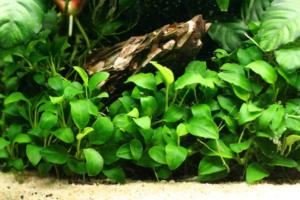 Anubias Axolotl Plants
