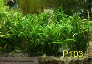 Lilaeopsis Axolotl Plants