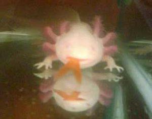 Axolotl Tank Mates - Eaten